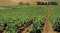 Pantelleria DOP, vendemmia amara: crolla la raccolta dello Zibibbo