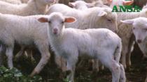 Agnello di Sardegna IGP per Natale, prezzo +16%