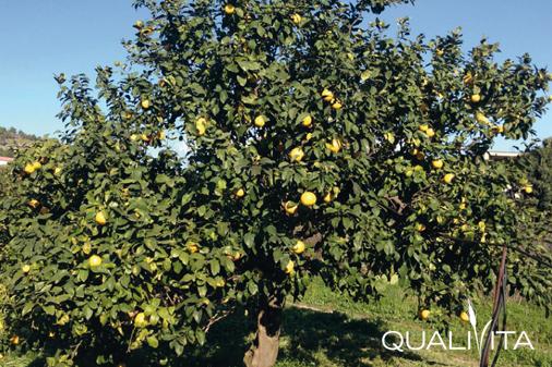 Bergamotto di Reggio Calabria – Olio Essenziale DOP foto-1