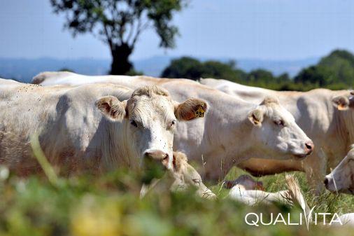 Charolais de Bourgogne IGP foto-1