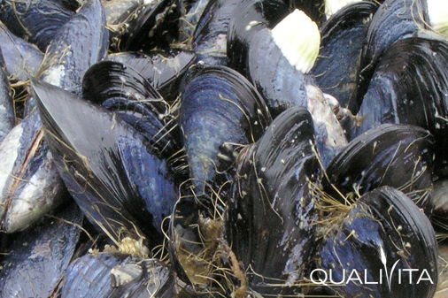 Conwy Mussels DOP foto-1