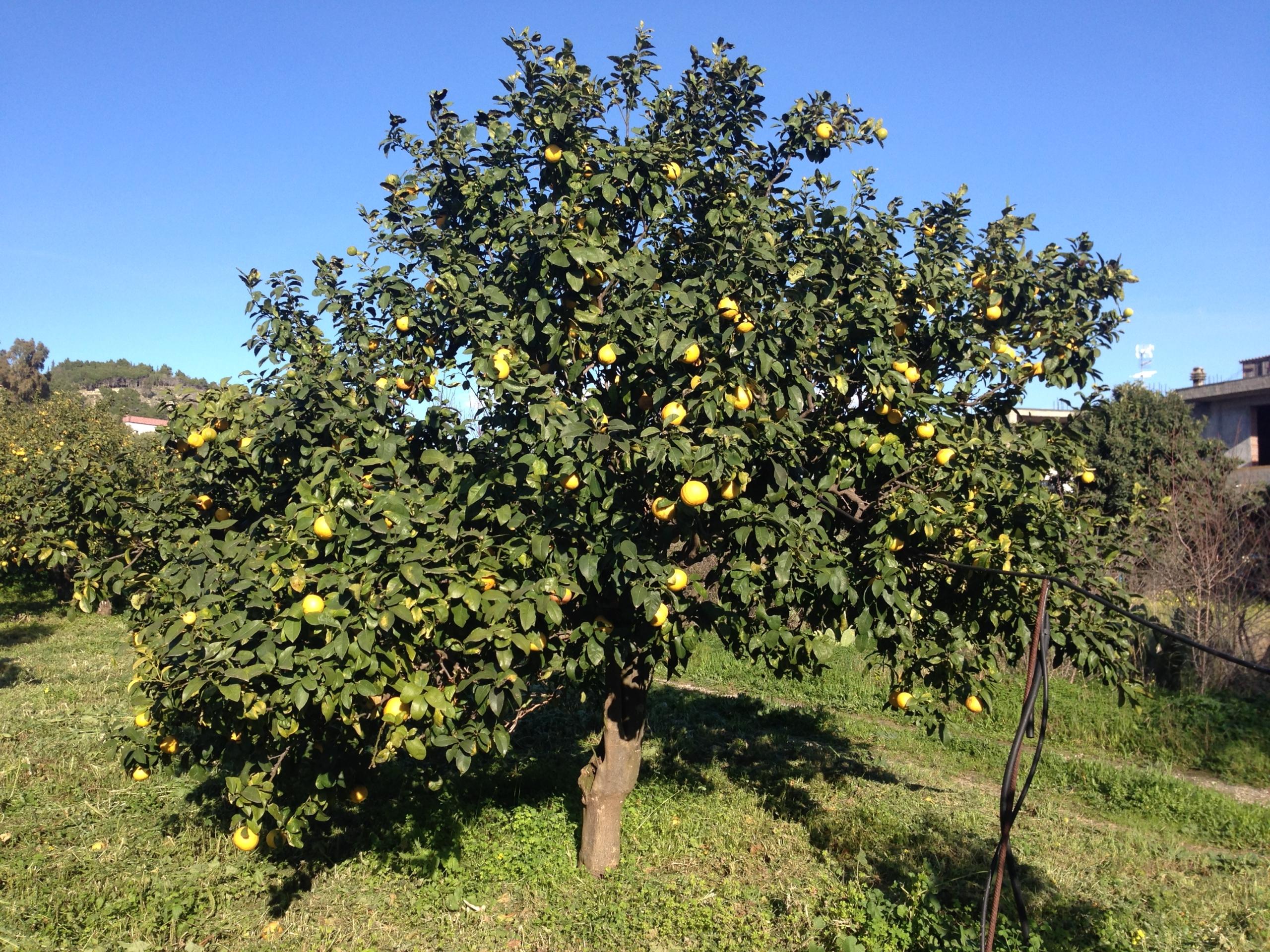 Bergamotto di Reggio Calabria – Olio Essenziale DOP foto-12