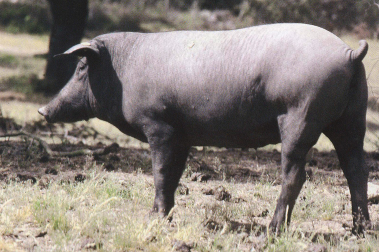 Carne de Porco Alentejano DOP