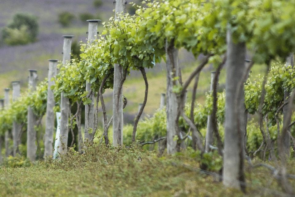 Colline del Genovesato IGP foto-1
