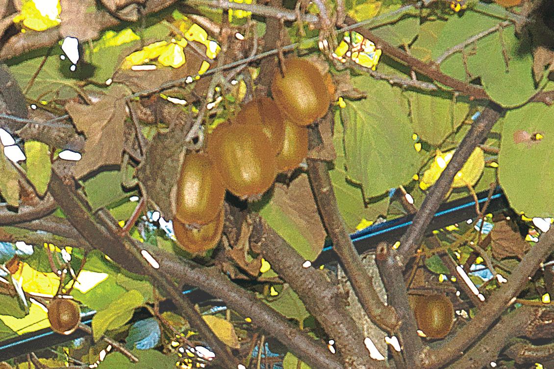 Kiwi Latina IGP foto-2