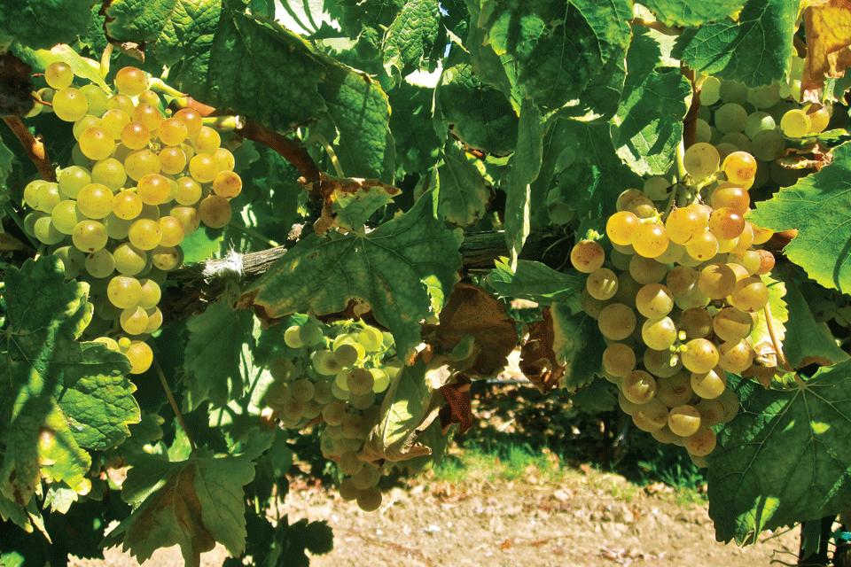 Moscato di Sardegna DOP foto-1
