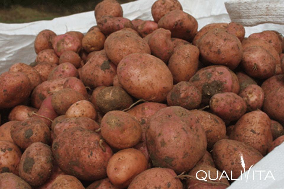 Patata Rossa di Colfiorito IGP foto-1