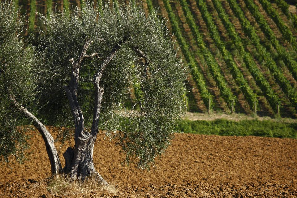 Rosso di Montalcino DOP foto-1