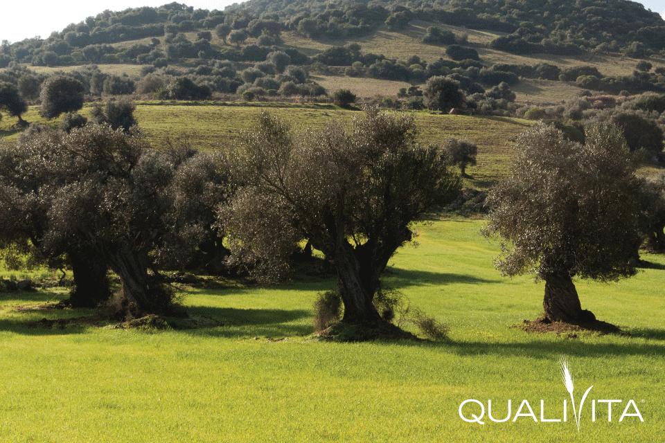 Sardegna DOP – Olio EVO foto-1