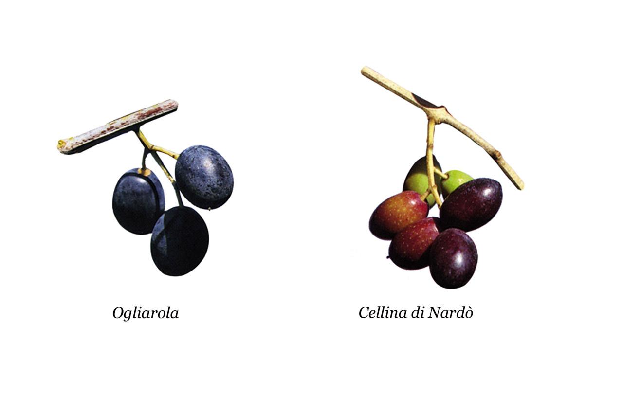 Terra d'Otranto DOP – Olio EVO foto-19