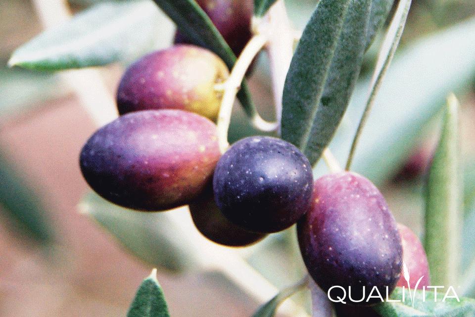 Terre Aurunche DOP – Olio EVO foto-1