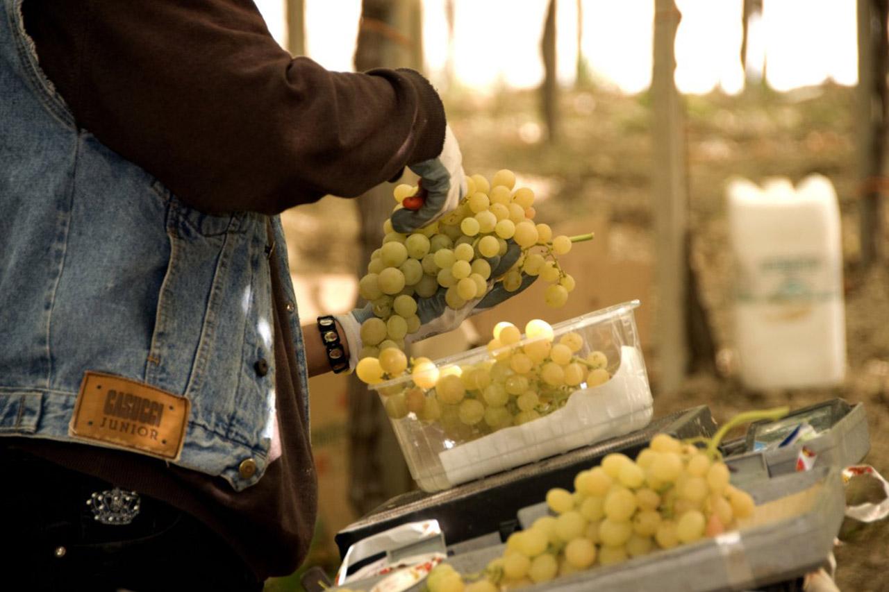 Uva da Tavola di Canicattì IGP foto-5