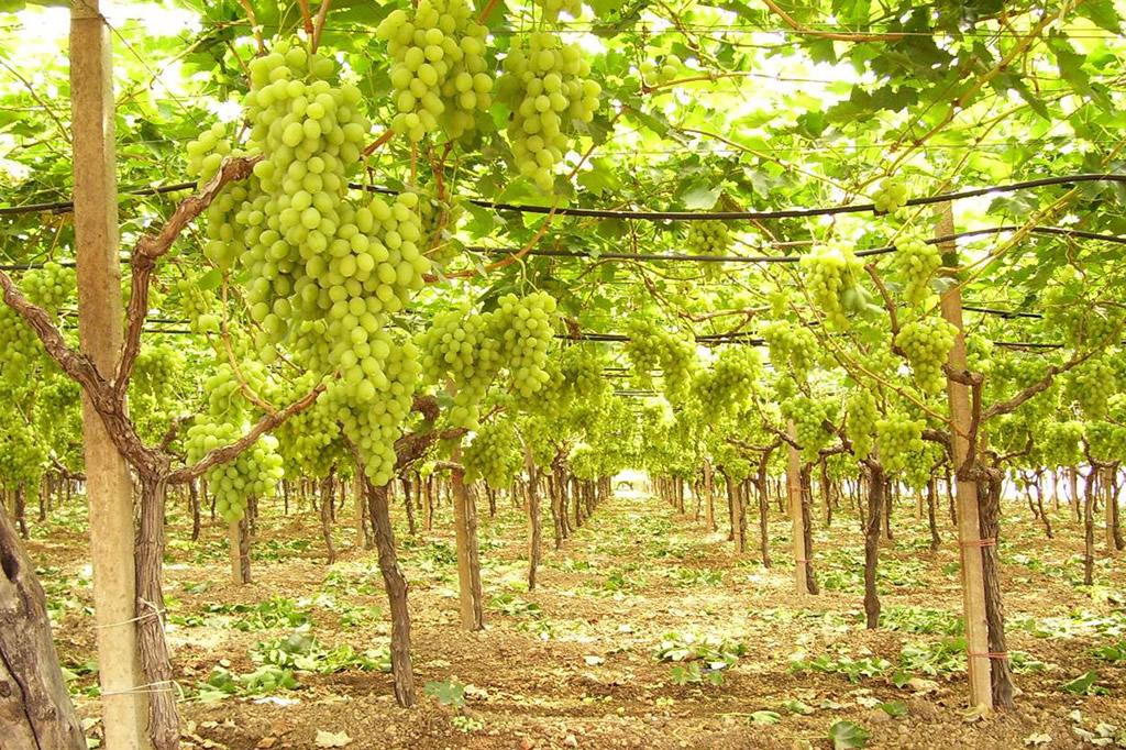 Uva di Puglia IGP foto-3
