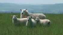 Welsh Lamb IGP e Welsh Beef IGP torna sul mercato italiano