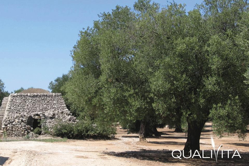 Terra d'Otranto DOP – Olio EVO foto-1