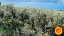 Olio Garda DOP: annata record per la produzione di olive
