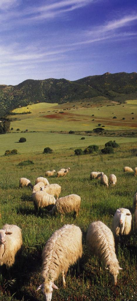 Agnello di Sardegna IGP foto-4