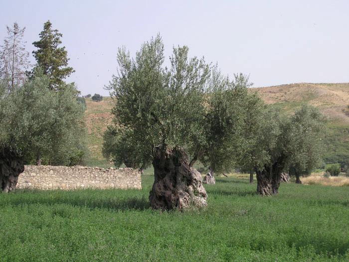 Alto Crotonese DOP – Olio EVO foto-2