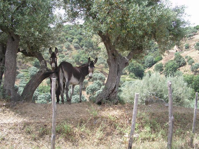 Alto Crotonese DOP – Olio EVO foto-3