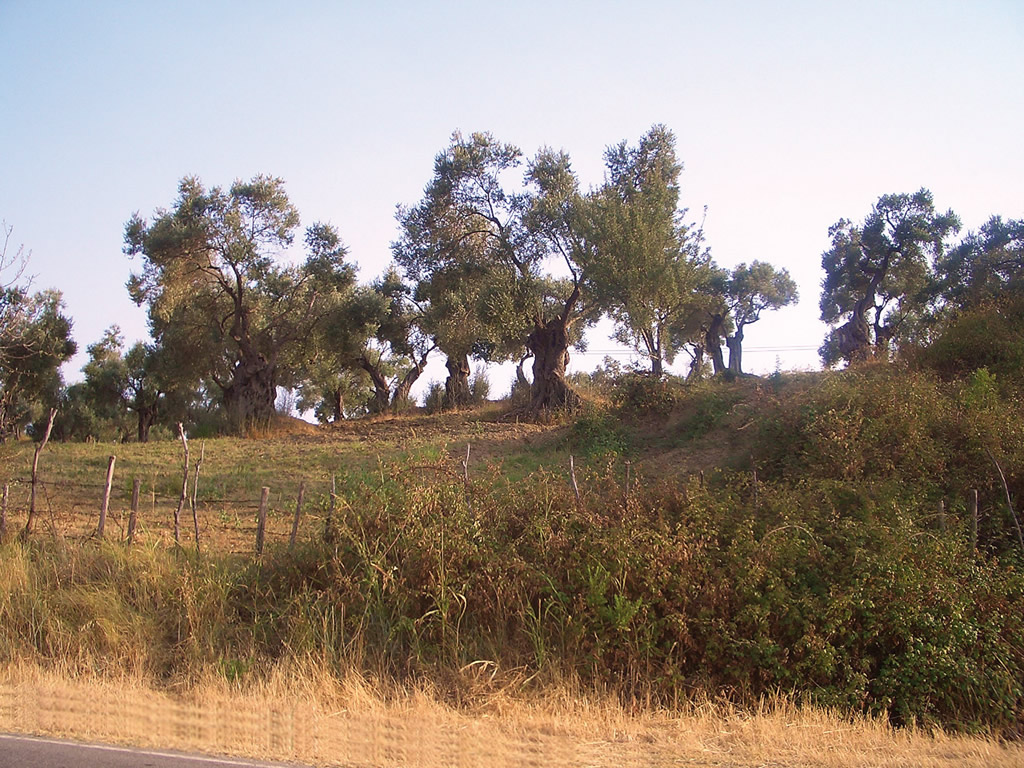 Alto Crotonese DOP – Olio EVO foto-5