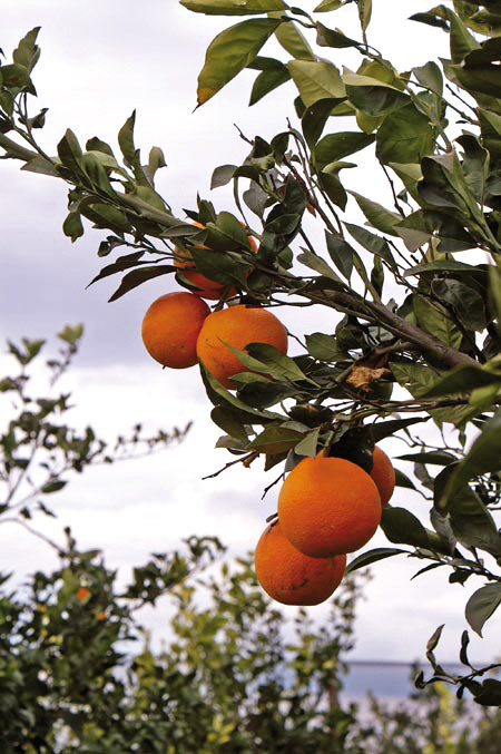 Arancia Rossa di Sicilia IGP foto-4