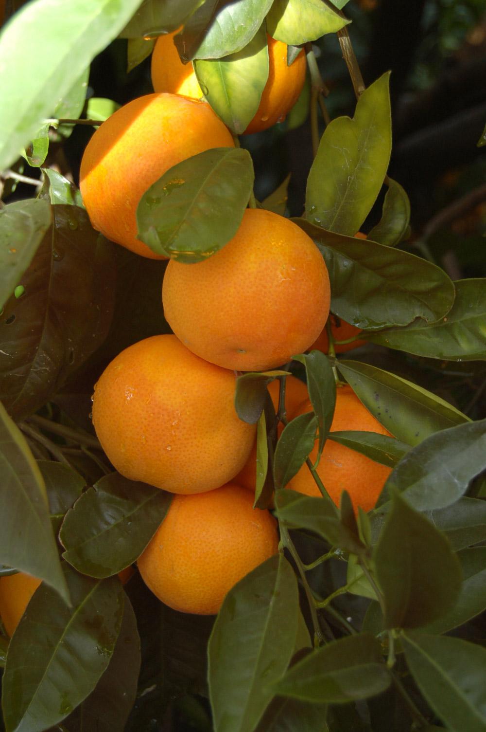 Arancia Rossa di Sicilia IGP foto-7