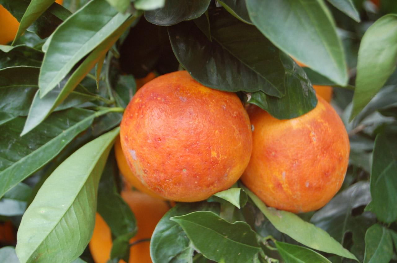 Arancia Rossa di Sicilia IGP foto-10