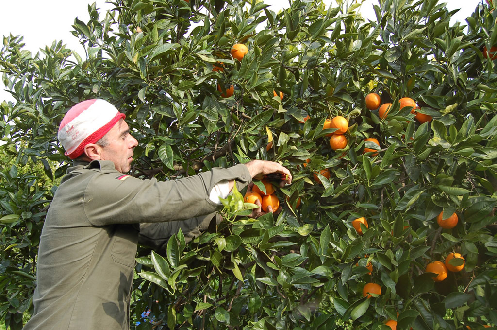 Arancia Rossa di Sicilia IGP foto-13