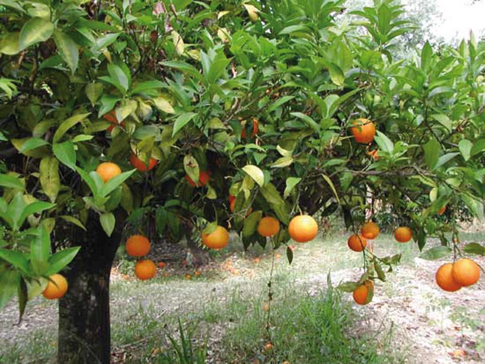 Arancia del Gargano IGP foto-7