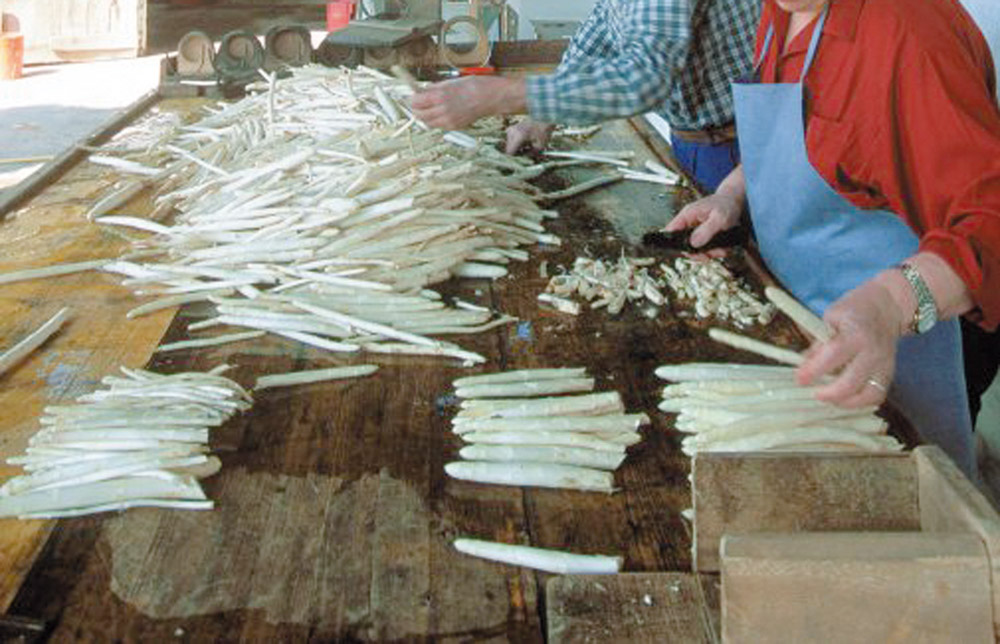 Asparago Bianco di Bassano DOP foto-11