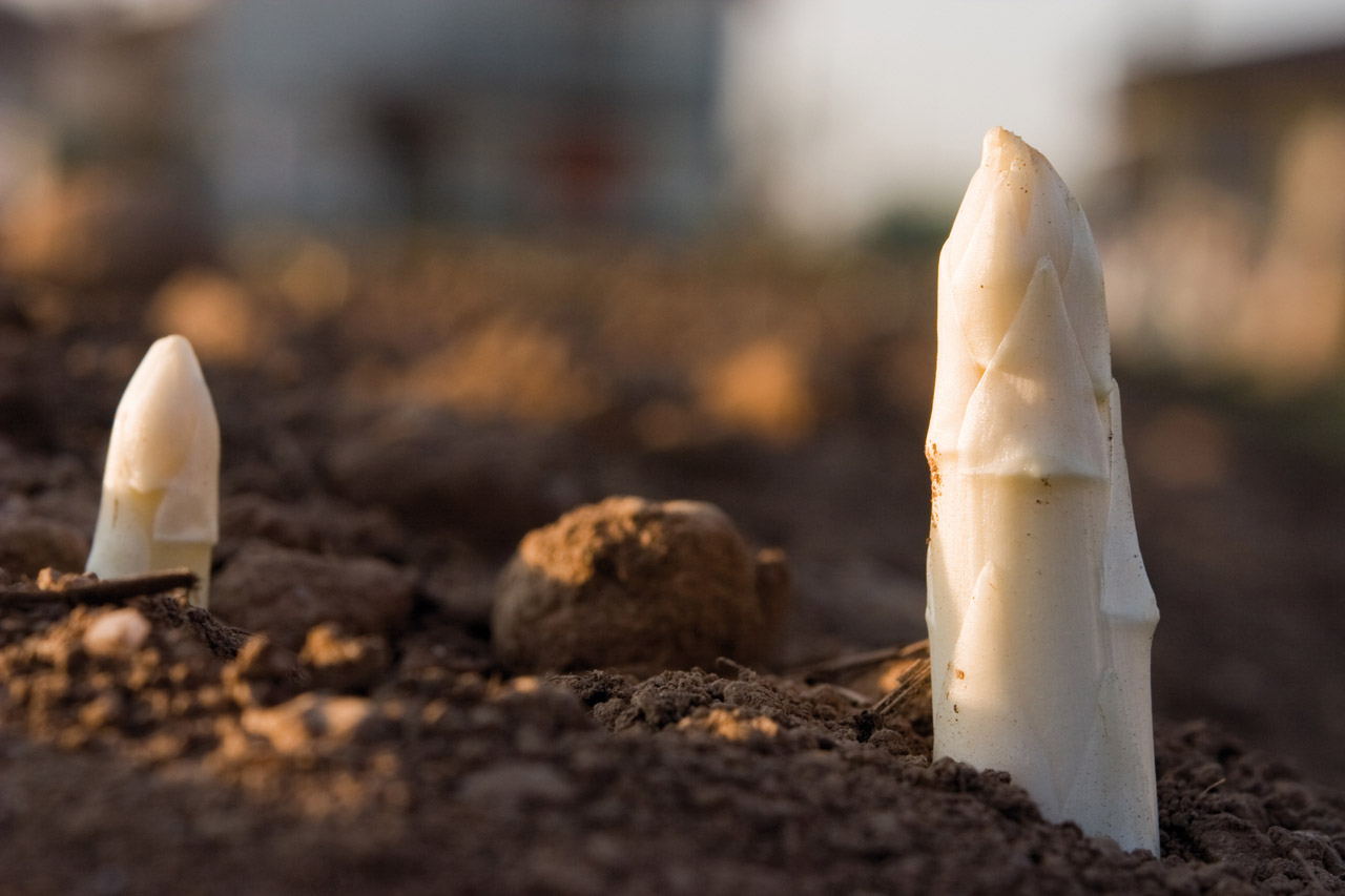 Asparago Bianco di Bassano DOP foto-9