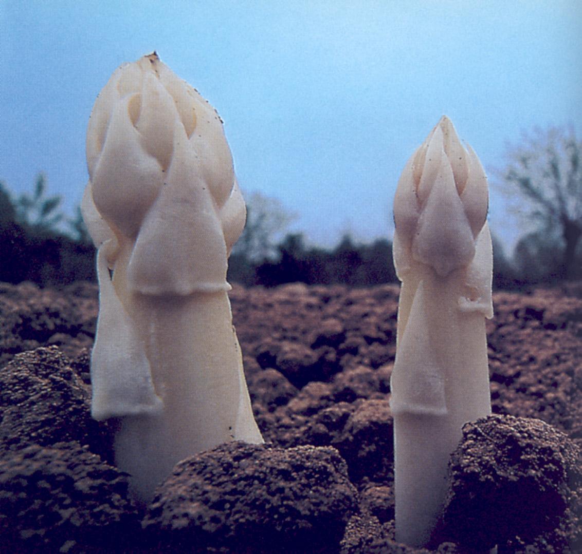 Asparago Bianco di Cimadolmo IGP foto-4