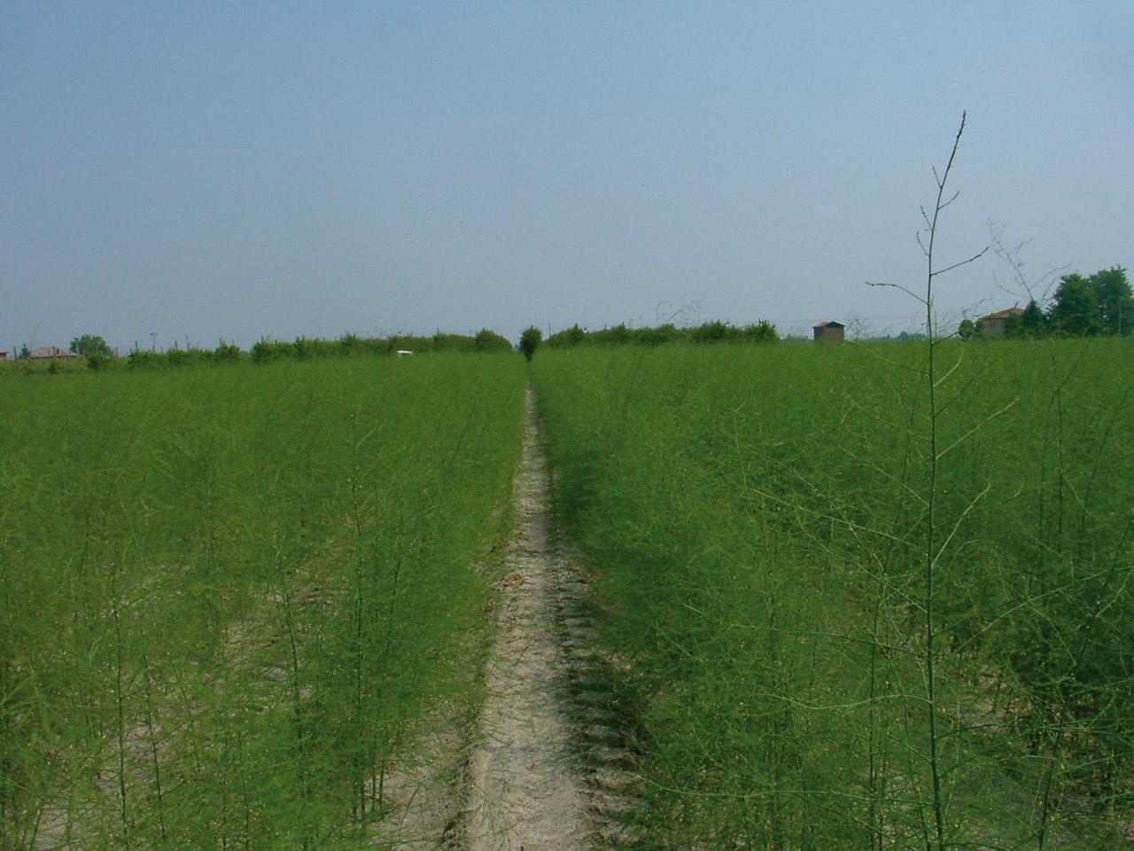 Asparago Verde di Altedo IGP foto-10