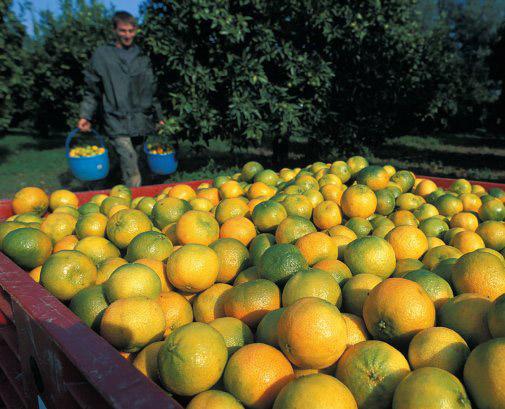 Bergamotto di Reggio Calabria – Olio Essenziale DOP foto-6