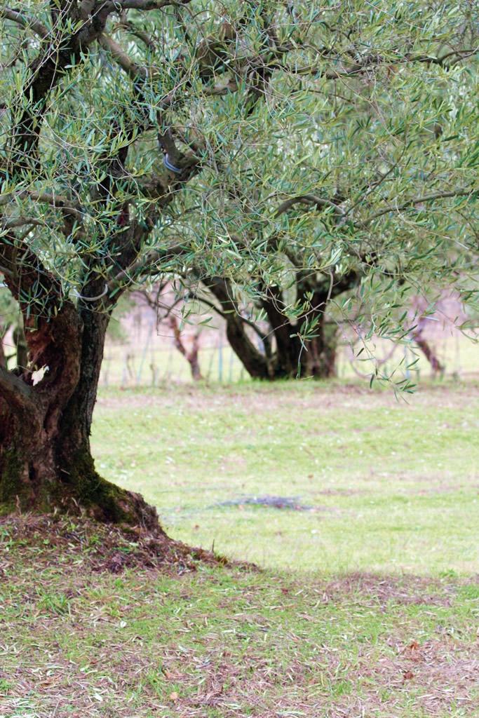 Brisighella DOP – Olio EVO foto-3