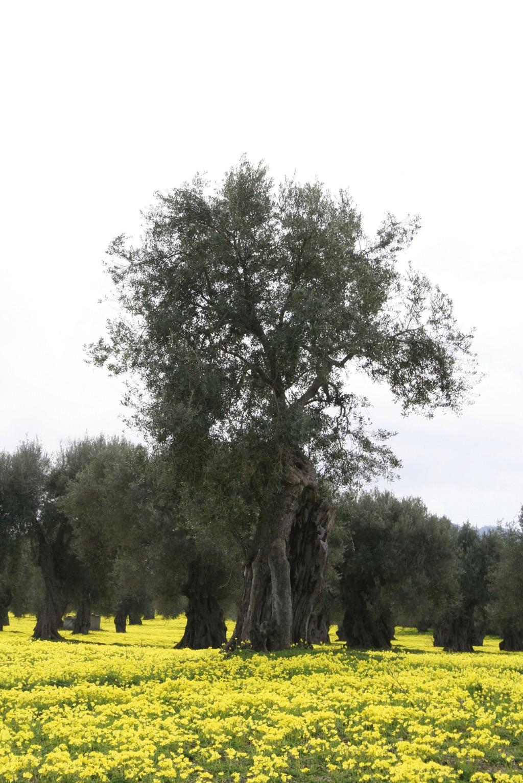Bruzio DOP – Olio EVO foto-2