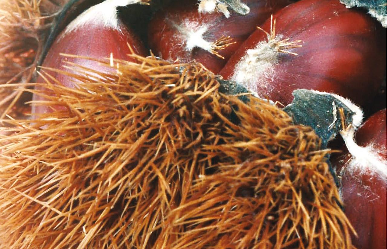 Castagna di Montella IGP foto-2