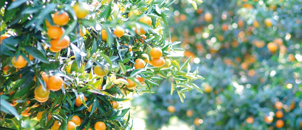 Clementine di Calabria IGP foto-4