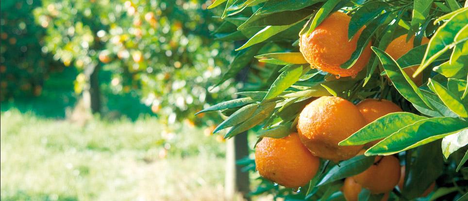 Clementine di Calabria IGP foto-5
