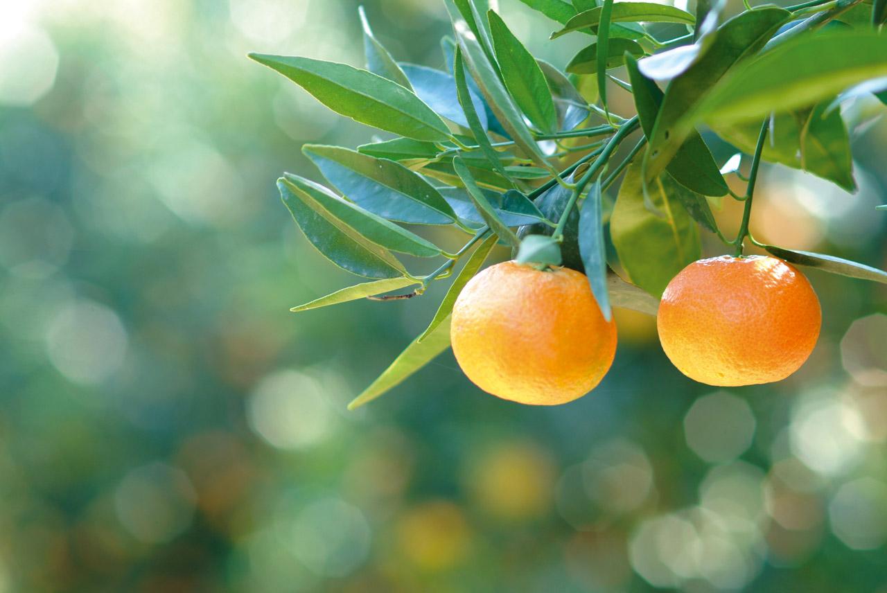 Clementine di Calabria IGP foto-2