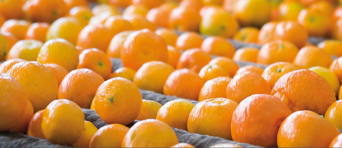 Clementine di Calabria IGP foto-7