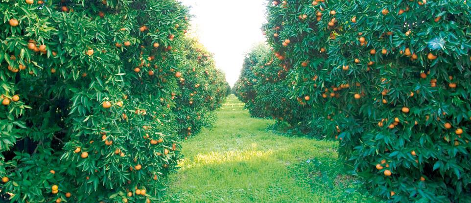 Clementine di Calabria IGP foto-6