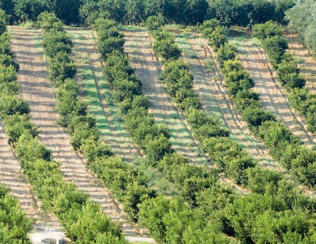 Clementine di Calabria IGP foto-10