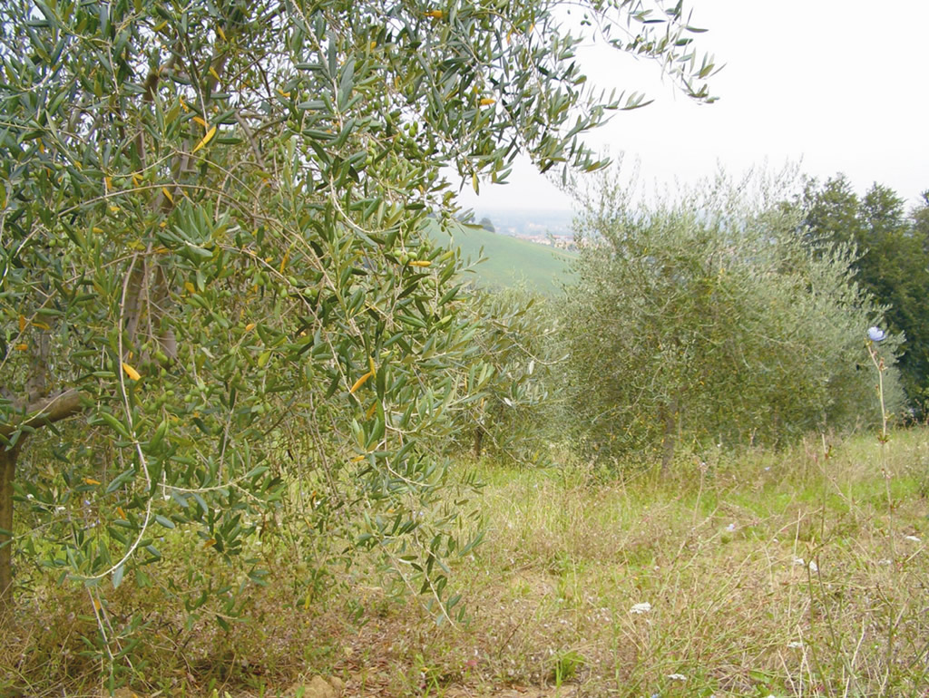 Colline di Romagna DOP – Olio EVO foto-2