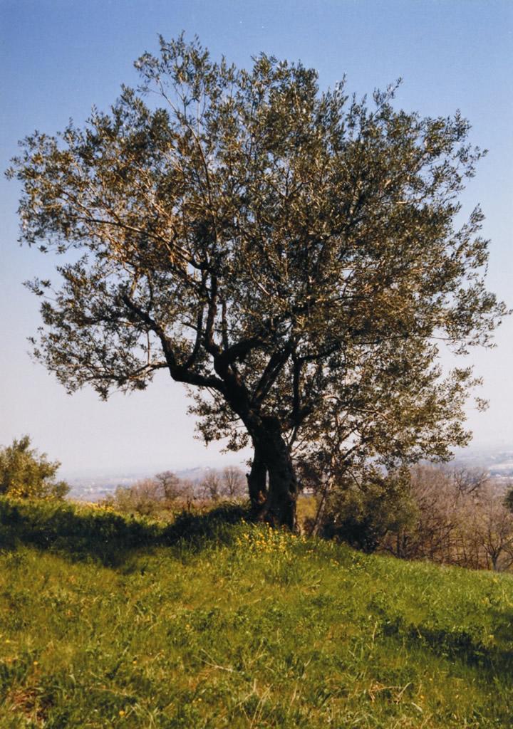 Colline di Romagna DOP – Olio EVO foto-3