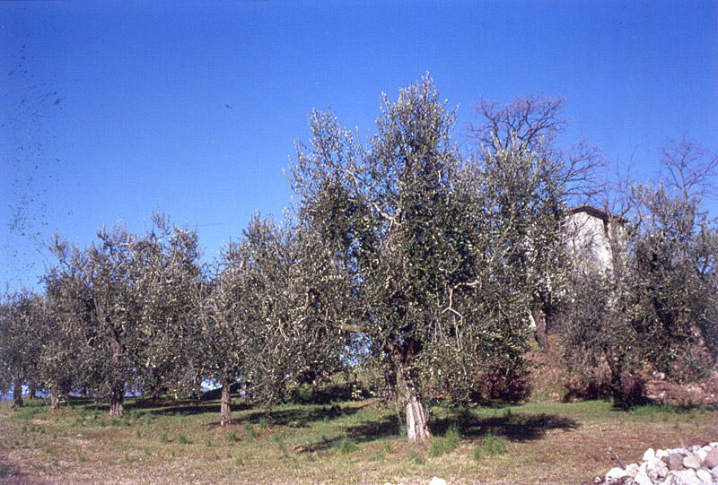 Laghi Lombardi DOP – Olio EVO foto-2