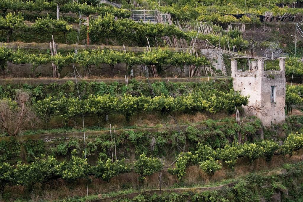 Limone Costa d'Amalfi IGP foto-15