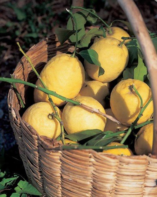 Limone Costa d'Amalfi IGP foto-2