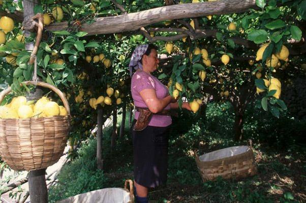 Limone Costa d'Amalfi IGP foto-9