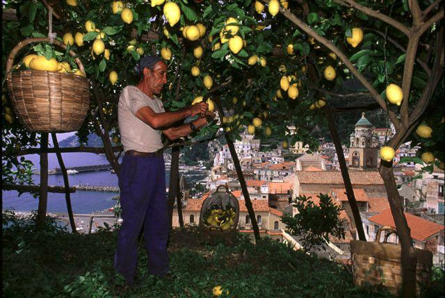 Limone Costa d'Amalfi IGP foto-8